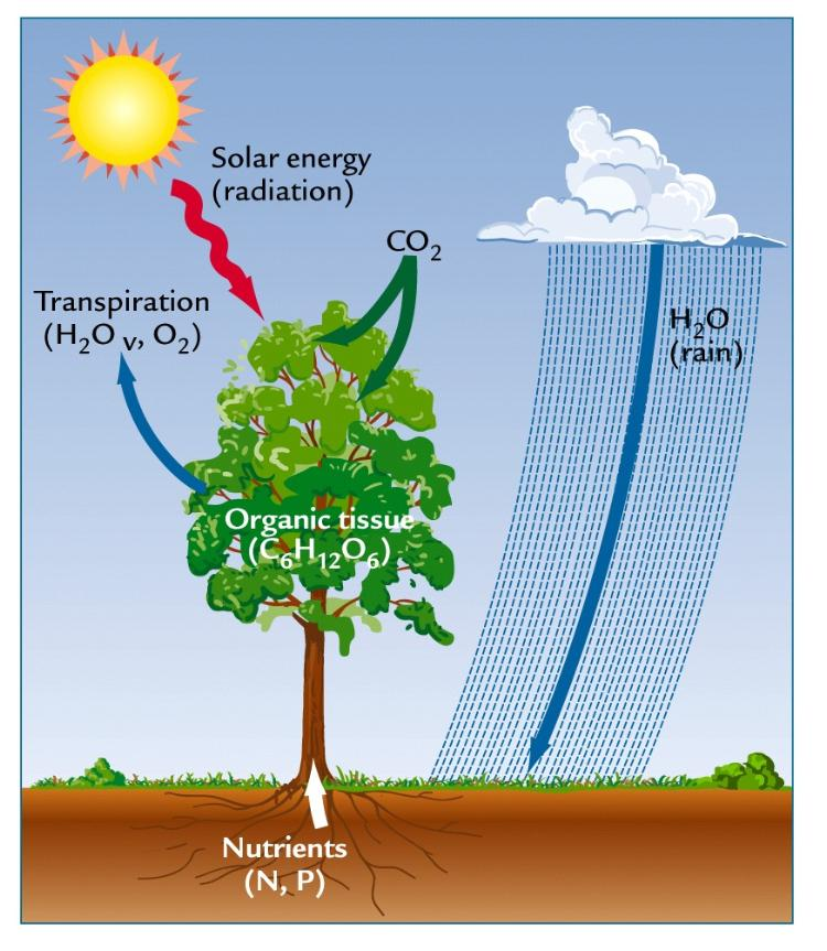 short essay photosynthesis Photosynthesis is a process used by plants and other organisms to convert light energy into chemical  it is only possible over very short distances, due .